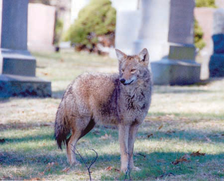 Coyote: A coyote takes in the scene at Cedar Grove Cemetery