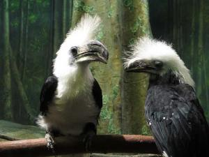 "Male called ""pushy"" in this white-crested hornbill couple. 	Franklin Park Zoo photo"
