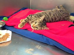 """Adams"" is a four-month old kitten who fractured a leg after a fall from an Adams Street three-decker. 	Photo courtesy MSPCA-Angell"